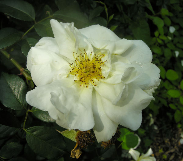 Rosa 'Fortune's Double Yellow'