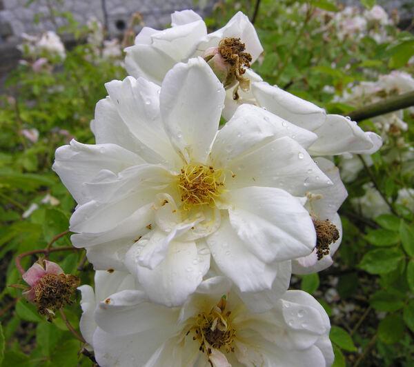 Rosa 'Claire Jacquier'