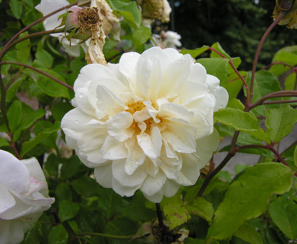 Rosa 'Alister Stella Gray'