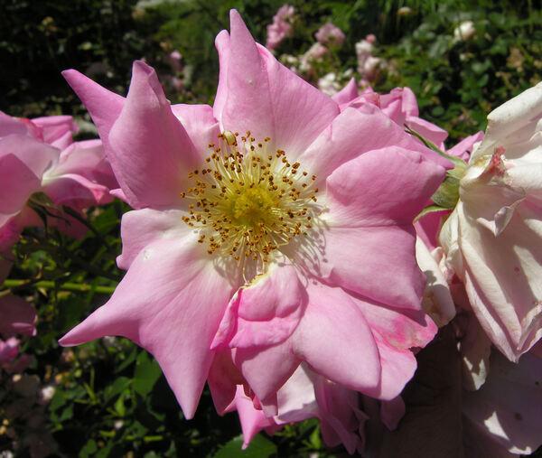 Rosa 'Belle Story'