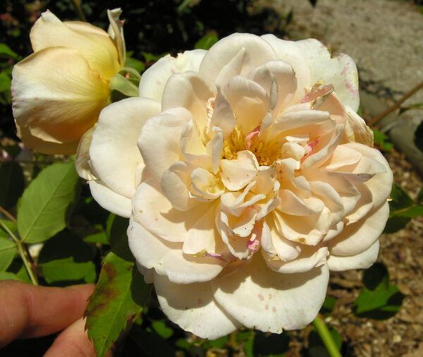 Rosa 'Pegasus'