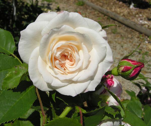Rosa 'Eliane Gillet ®'