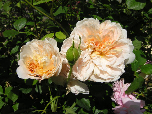 Rosa 'Tea Clipper'