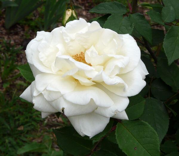 Rosa 'Gloire Lyonnaise'
