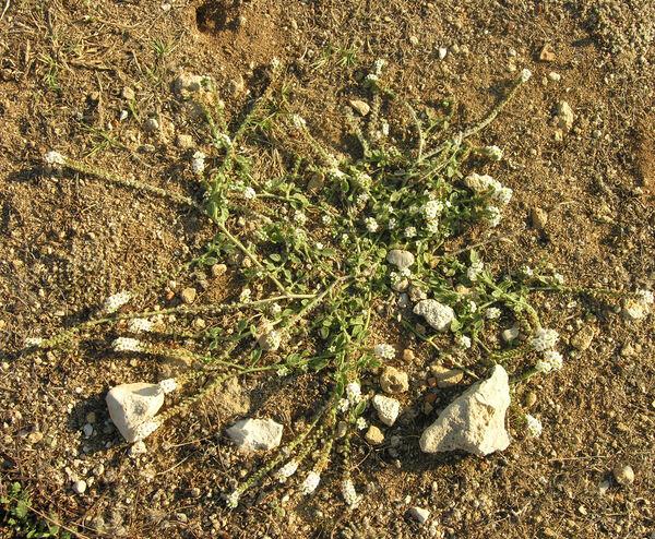 Heliotropium supinum L.