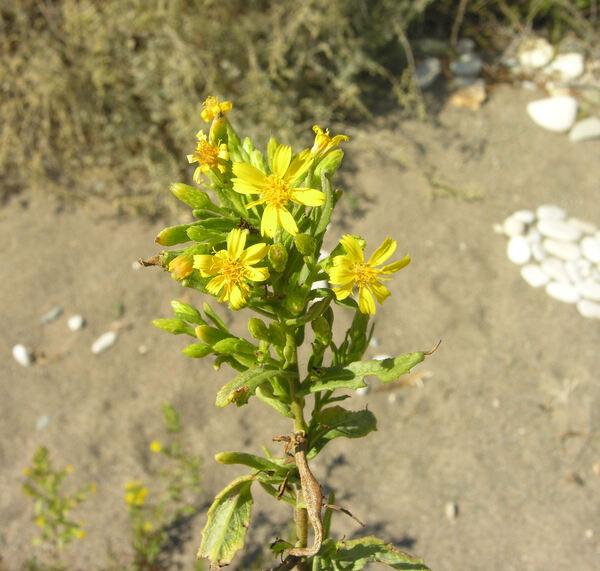 Dittrichia viscosa (L.) Greuter subsp. angustifolia (Bég.) Greuter