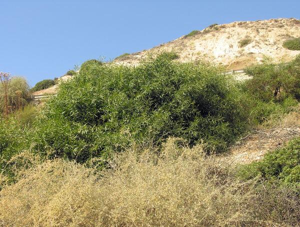 Eucalyptus sp.