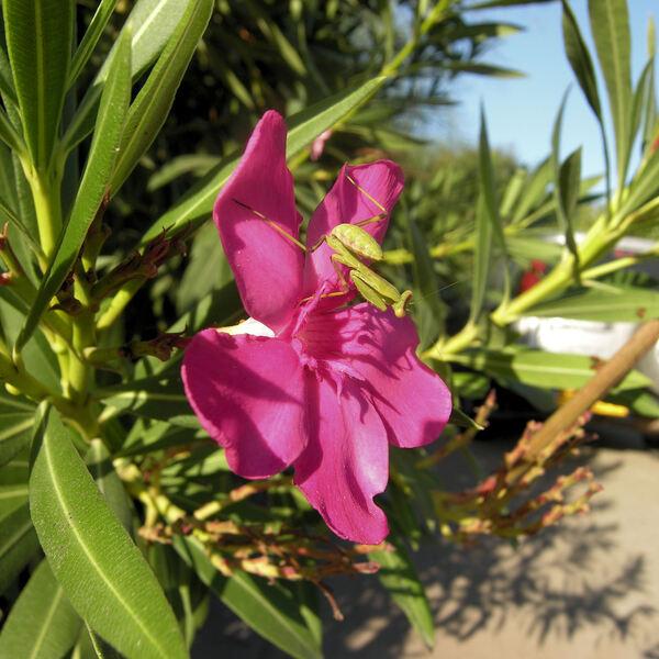 Nerium oleander L. subsp. oleander