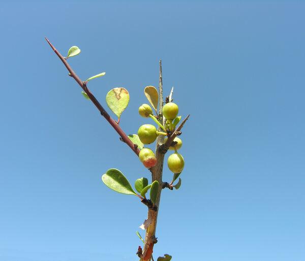 Rhamnus lycioides L. subsp. graeca (Boiss. & Reut.) Tutin