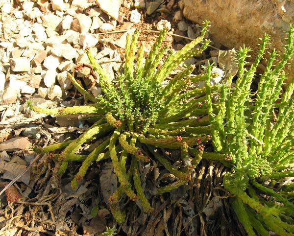 Euphorbia flanaganii N.E. Br.