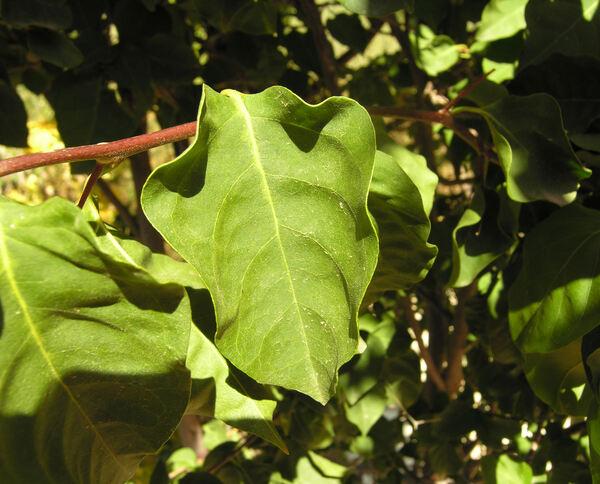 Bougainvillea spectabilis Willd.