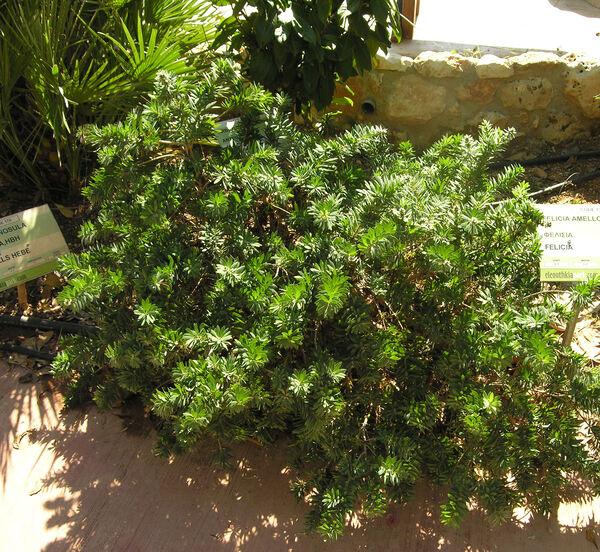 Hebe carnosula (Hook.f.) Cockayne & Allan
