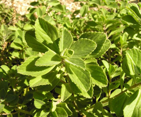 Plectranthus neochilus Schltr.