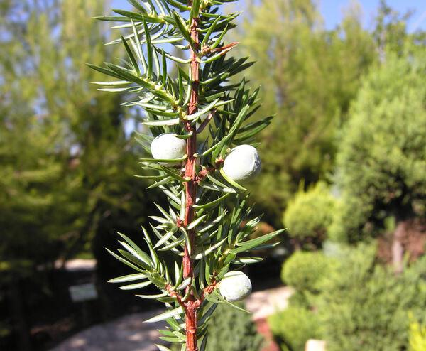 Juniperus conferta Parl. 'Schlager'
