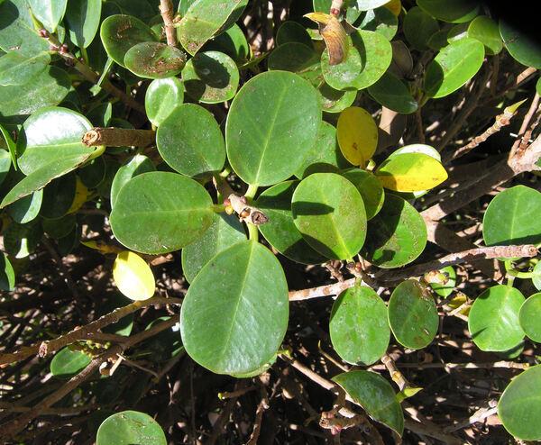 Ficus retusa L.
