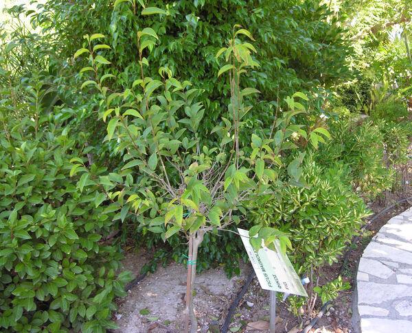 Ficus macrophylla Desf. ex Pers.