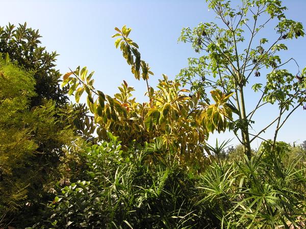 Ficus elastica Roxb. 'Decora'