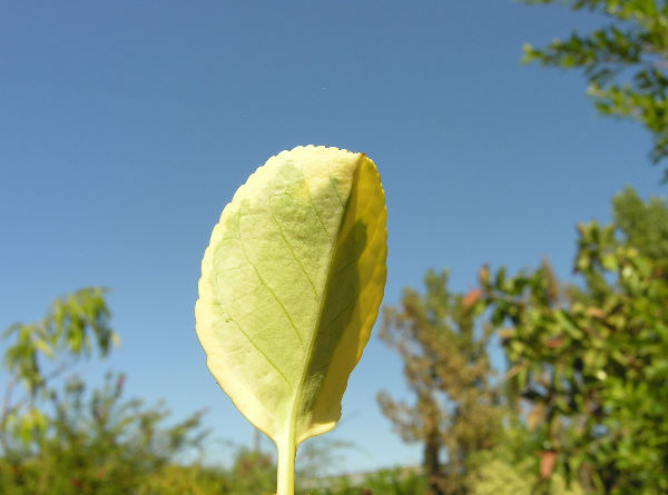 Euonymus fortunei (Turcz.) Hand.-Mazz. 'Emerald'n Gold'