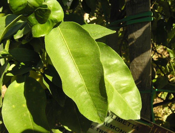 Citrus x aurantiifolia (Christm.) Swingle
