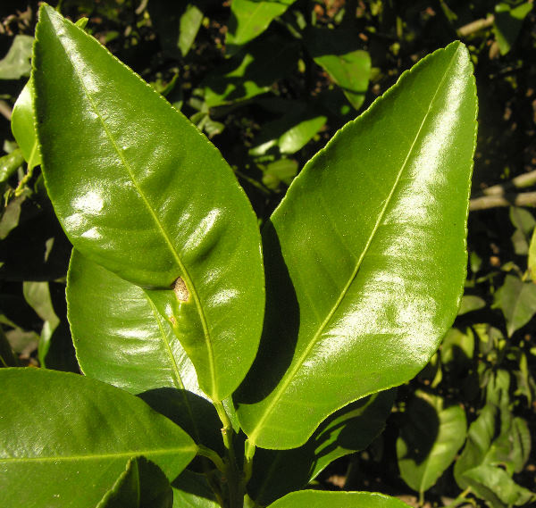 Citrus x bergamium (Risso) Risso & Poit.