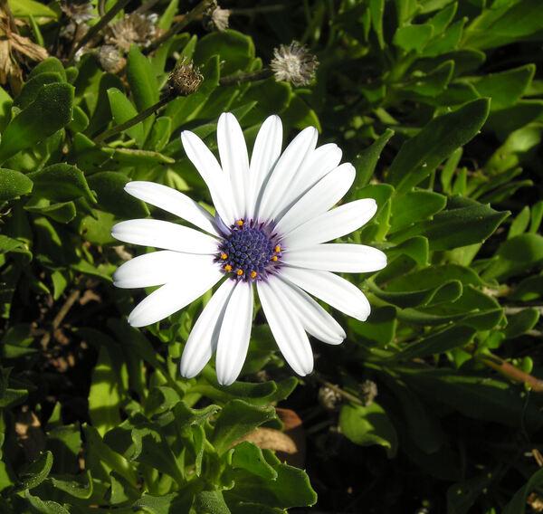 Dimorphotheca sp.