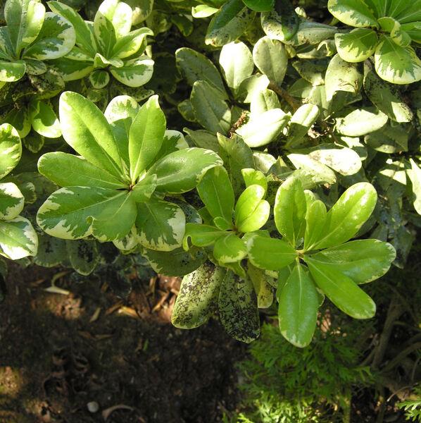 Euonymus fortunei (Turcz.) Hand.-Mazz. 'Emerald Gaiety'