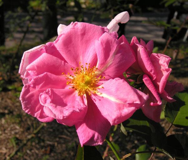 Rosa 'Minouchette ®'