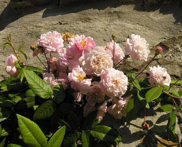 Rosa 'Jean Stephenne'