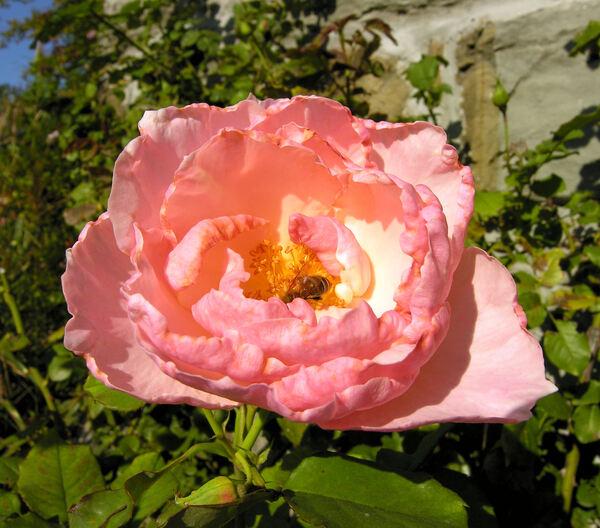 Rosa 'Bellavista ®'