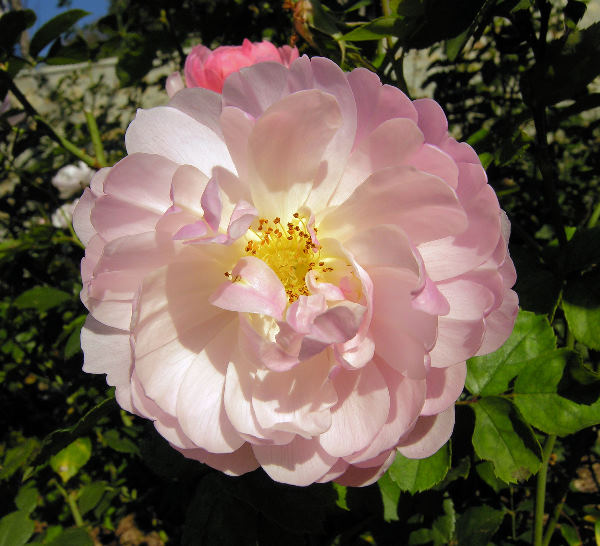 Rosa 'Scarborough Fair ™'