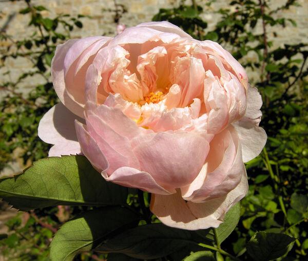 Rosa 'Alnwick Castle'