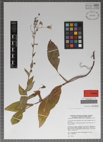 Hieracium symphytaceum Arv.-Touv.