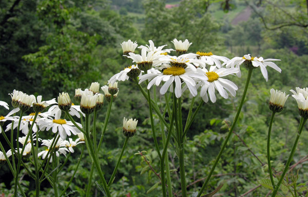 Tanacetum corymbosum (L.) Sch.Bip. subsp. subcorymbosum (Schur) Pawł.
