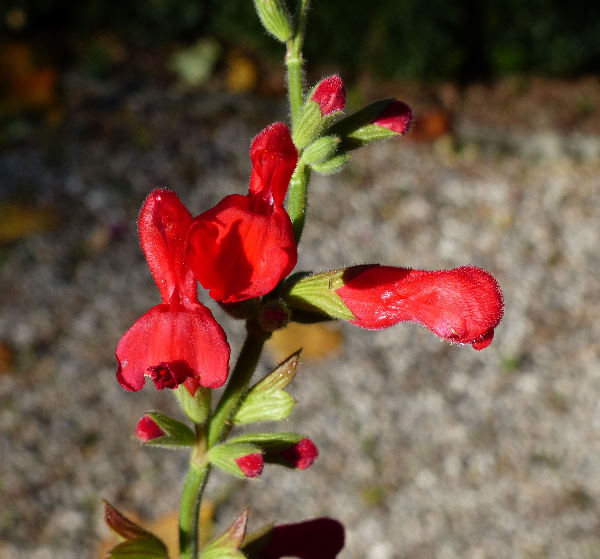 Salvia darcyi J. Compton
