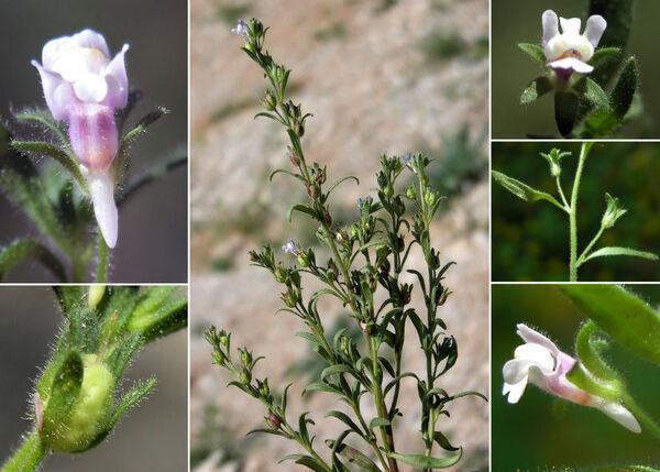 Chaenorhinum minus (L.) Lange subsp. litorale (Willd.) Hayek