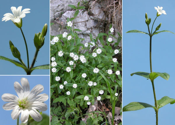 Cerastium subtriflorum (Rchb.) Pacher