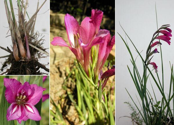 Gladiolus imbricatus L.