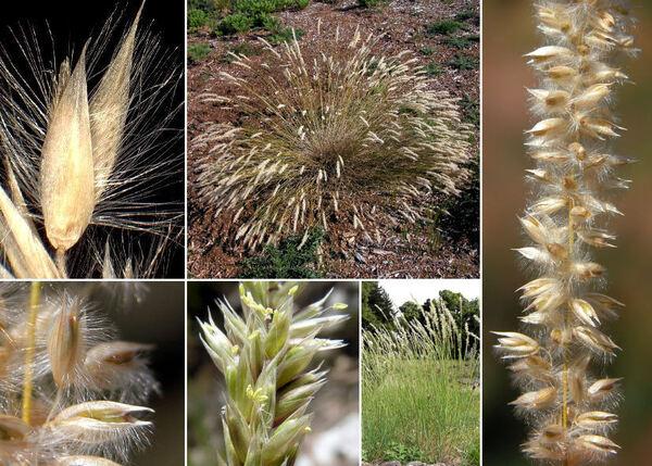 Melica ciliata L. subsp. ciliata