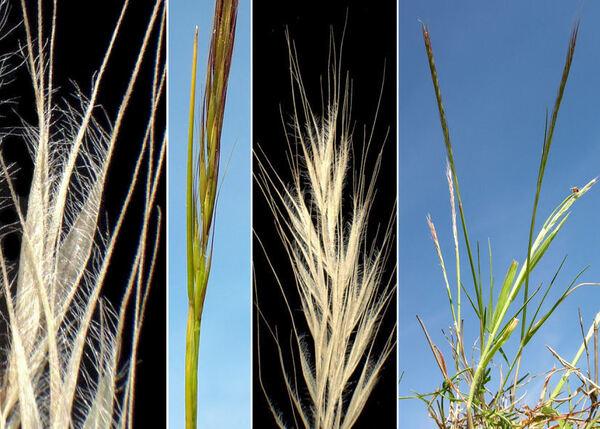 Festuca myuros L. subsp. myuros
