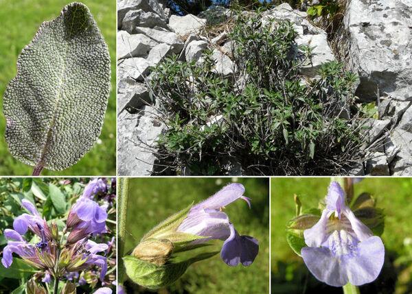 Salvia officinalis L. subsp. officinalis