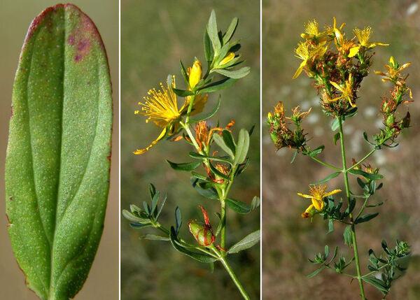 Hypericum perforatum L. subsp. veronense (Schrank) Ces.