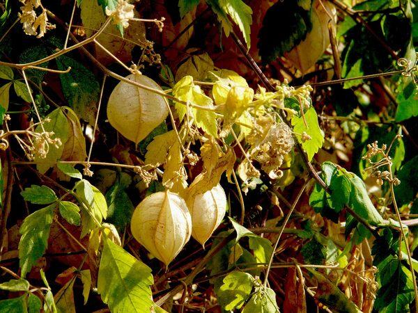 Cardiospermum grandiflorum Sw.