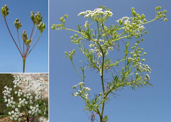 Ammoides pusilla (Brot.) Breistr.