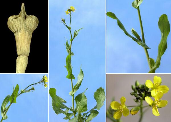 Myagrum perfoliatum L.