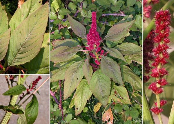 Amaranthus hybridus L. subsp. cruentus (L.) Thell.