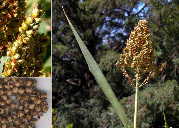 Sorghum bicolor (L.) Moench subsp. bicolor
