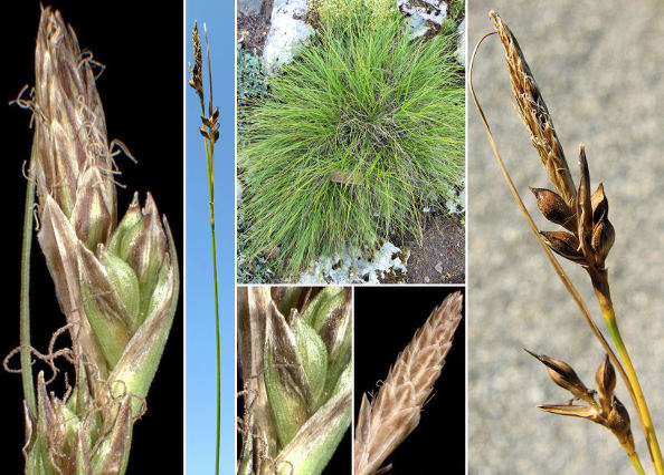 Carex halleriana Asso