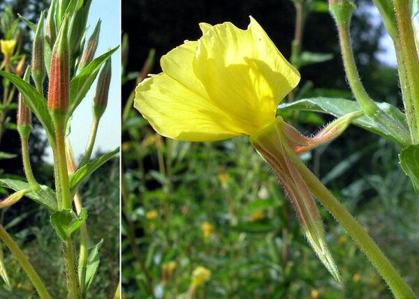 Oenothera latipetala (Soldano) Soldano