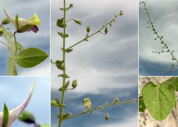 Kickxia elatine (L.) Dumort. subsp. crinita (Mabille) Greuter
