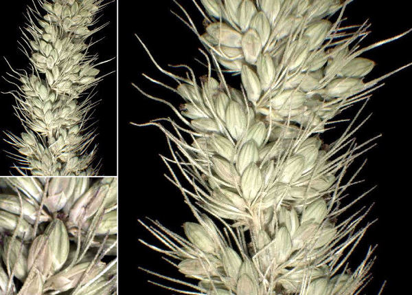 Setaria verticilliformis Dumort.